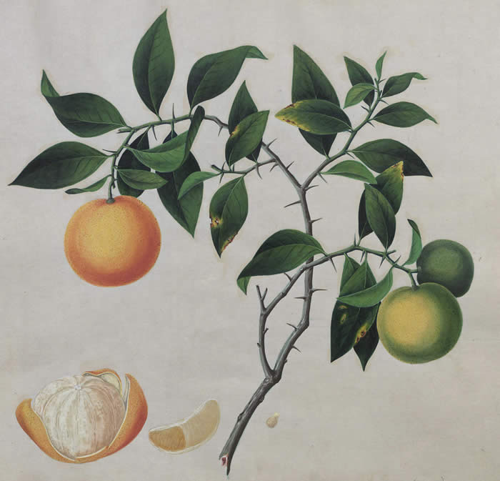 Orange tree, courtesy of the Winterthur Library